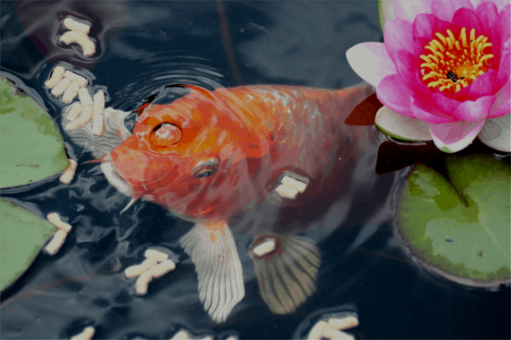 koi fish surfacing next to water lily