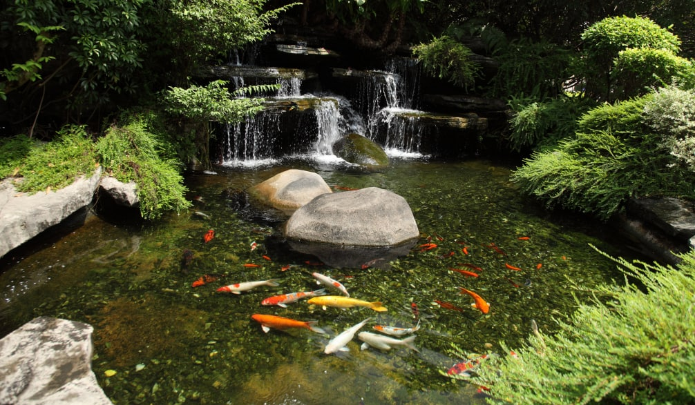 clear pond water with koi fish and a waterfall