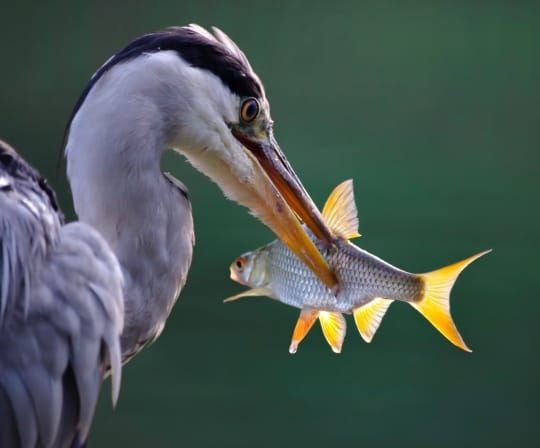heron with koi fish in its mouth